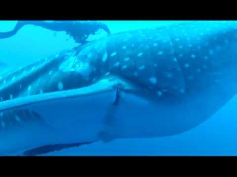 Community video / 動人一刻:終於掙脫多年捆綁!鯨鯊擺尾感激WHALE SHARK RESCUE – N…