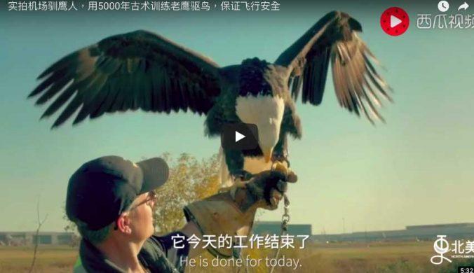 機場馴鷹人-用5000年古術訓練老鷹驅鳥,保證飛行安全-s