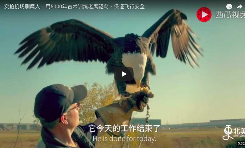 機場馴鷹人 用5000年古術訓練老鷹驅鳥,保證飛行安全