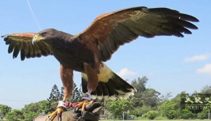 暑假訓鷹體驗兒童安全親近猛禽