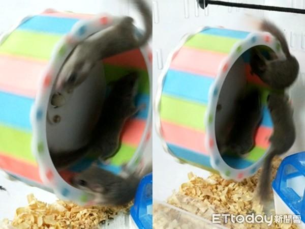 極限運動!3西班牙睡鼠愛玩「風火輪」 媽:頭都暈了